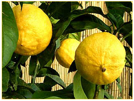 Photo of Unutulan Bir İlaç Bergamot