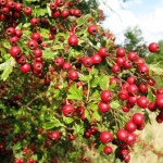 loads of bright red hawthorn berries